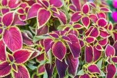 Ciérrese para arriba de la planta roja de Coleusp Fondo hermoso de la naturaleza Foto de archivo libre de regalías