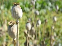 Ciérrese para arriba de la planta secada de la amapola metrajes