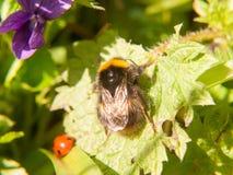 ciérrese para arriba de la primavera macra de la abeja negra y amarilla en la hoja Fotografía de archivo libre de regalías