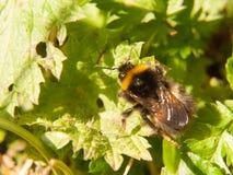 ciérrese para arriba de la primavera macra de la abeja negra y amarilla en la hoja Imagen de archivo libre de regalías