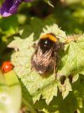 ciérrese para arriba de la primavera macra de la abeja negra y amarilla en la hoja Imágenes de archivo libres de regalías