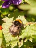 ciérrese para arriba de la primavera macra de la abeja negra y amarilla en la hoja Fotos de archivo libres de regalías