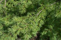 Ciérrese para arriba de la rama del alerce en primavera Fotos de archivo libres de regalías