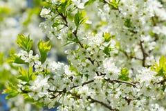Ciérrese para arriba de la rama de la flor de cerezo Fotografía de archivo libre de regalías