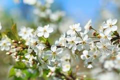 Ciérrese para arriba de la rama de la flor de cerezo Foto de archivo libre de regalías