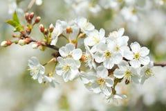 Ciérrese para arriba de la rama de la flor de cerezo Imagen de archivo libre de regalías