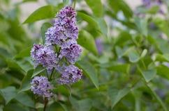 Ciérrese para arriba de la rama púrpura de la lila Imagen de archivo libre de regalías