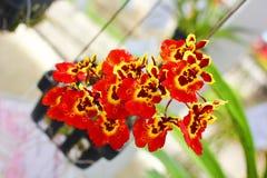 Ciérrese para arriba de la rama tailandesa roja hermosa de la flor de la orquídea que florece en un jardín Fotografía de archivo
