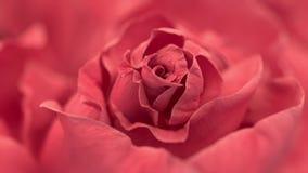 Ciérrese para arriba de la rosa de apertura del rosa, rosas rosadas florecientes almacen de video