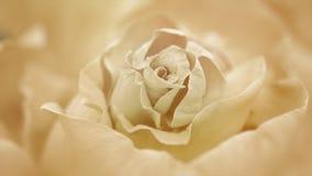 Ciérrese para arriba de la rosa blanca de apertura, rosas blancas florecientes metrajes