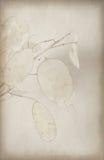 Ciérrese para arriba de la semilla de la honradez Fotos de archivo