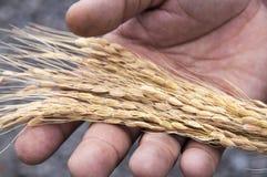 Ciérrese para arriba de la semilla del arroz en la mano del granjero Imágenes de archivo libres de regalías