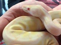 Ciérrese para arriba de la serpiente de varios colores del pitón de la bola del albino que es sostenida Imagen de archivo libre de regalías