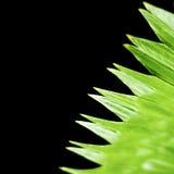 Ciérrese para arriba de la sola hoja verde en fondo negro imagenes de archivo