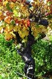 Ciérrese para arriba de la vid de uva con las hojas de otoño Foto de archivo