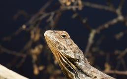 Ciérrese para arriba de lagarto Imagen de archivo