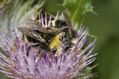 Ciérrese para arriba de las abejas de la miel, Apis Imagen de archivo libre de regalías
