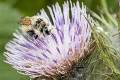 Ciérrese para arriba de las abejas de la miel, Apis Imagenes de archivo