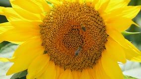 Ciérrese para arriba de las abejas de la miel que polinizan los girasoles amarillos metrajes