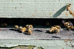 Ciérrese para arriba de las abejas que entran en su colmena Fotografía de archivo