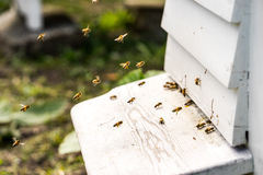 Ciérrese para arriba de las abejas que vuelan dentro y fuera de sus colmenas Imagenes de archivo