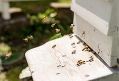 Ciérrese para arriba de las abejas que vuelan dentro y fuera de sus colmenas Fotografía de archivo