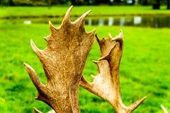 Ciérrese para arriba de las astas de un ciervo en barbecho fotografía de archivo libre de regalías