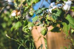 Ciérrese para arriba de las cápsulas maduras del algodón Fotografía de archivo