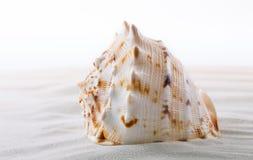 Ciérrese para arriba de las cáscaras del mar en la playa Foto de archivo libre de regalías