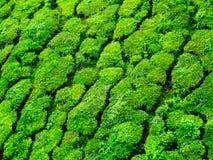 Ciérrese para arriba de las colinas del té de Munnar Fotografía de archivo libre de regalías