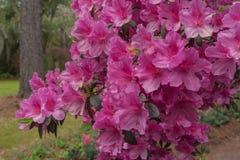Ciérrese para arriba de las floraciones de la azalea imagen de archivo libre de regalías