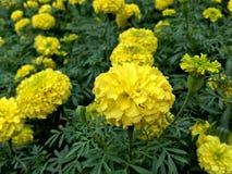 Ciérrese para arriba de las flores amarillas de la maravilla en el parque Imagenes de archivo