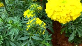 Ciérrese para arriba de las flores amarillas de la maravilla en el parque almacen de metraje de vídeo