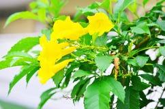 Ciérrese para arriba de las flores amarillas del prado borrosas Imágenes de archivo libres de regalías