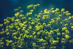 Ciérrese para arriba de las flores amarillas de la colza con el fondo borroso D?a asoleado del verano Copie el espacio imagenes de archivo