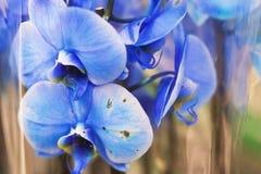 Ciérrese para arriba de las flores azules de las orquídeas de una polilla imagen de archivo