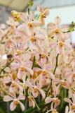 Ciérrese para arriba de las flores blancas y rosadas de la orquídea Imagen de archivo