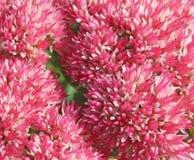 Ciérrese para arriba de las flores blancas y rosadas del arbusto de Autumn Joy Fotografía de archivo libre de regalías