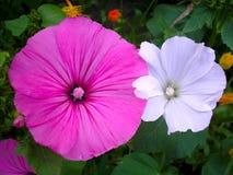 Ciérrese para arriba de las flores blancas y rosadas de la petunia en un fondo verde rodeado por otras flores en primavera foto de archivo