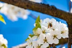 Ciérrese para arriba de las flores de cerezo blancas en naturaleza Imagen de archivo libre de regalías