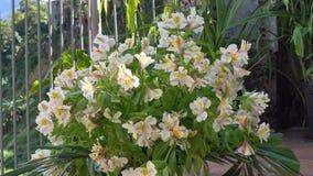 Ciérrese para arriba de las flores de Bean Tree del indio (los bignonioides de Catalpa) almacen de metraje de vídeo