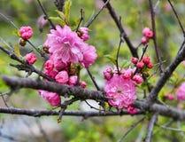 Ciérrese para arriba de las flores del árbol de Sakura en jardín de la primavera Imágenes de archivo libres de regalías