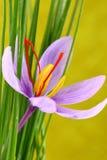 Ciérrese para arriba de las flores del azafrán Fotografía de archivo