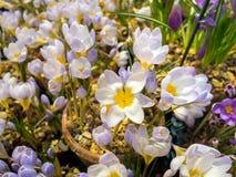 Ciérrese para arriba de las flores del azafrán de la primavera Imagenes de archivo