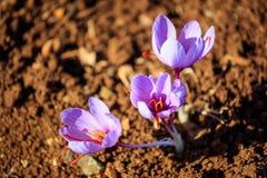 Ciérrese para arriba de las flores del azafrán en un campo en el otoño Fotografía de archivo libre de regalías
