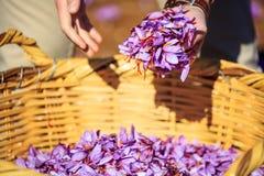 Ciérrese para arriba de las flores del azafrán en una cesta de mimbre Foto de archivo libre de regalías