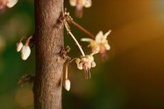 Ciérrese para arriba de las flores del cacao Foto de archivo libre de regalías