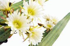 Ciérrese para arriba de las flores del cacto Imagen de archivo