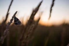 Ciérrese para arriba de las flores del campo de hierba en la luz de la puesta del sol fondo colorido de la naturaleza con la mari Foto de archivo libre de regalías