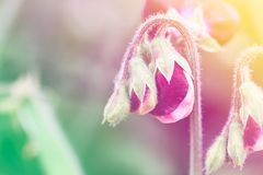 Ciérrese para arriba de las flores del guisante de olor en natural imagen de archivo libre de regalías